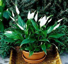 Pot Jardin, Peace Lily, Organic Gardening Tips, Vegetable Gardening, Interior Plants, Enchanted Garden, Plantation, Cactus Flower, Trees To Plant