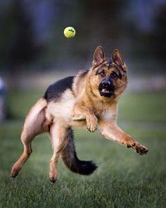 German Shepherd Dog                                                                                                                                                                                 More