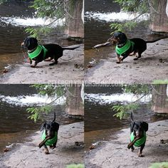 Dachshund Carrying Stick