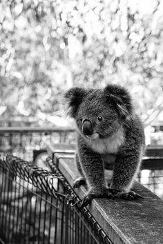 Beautiful Baby Koala
