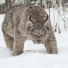 Canada Lynx often store leftover kill by covering it with snow. Adult lynx are solitary hunters, although a mother and her young will often hunt together. Nature Animals, Animals And Pets, Funny Animals, Cute Animals, Wildlife Nature, Wild Animals, Happy Animals, Big Cats, Cool Cats
