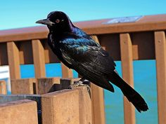 Grackle Boat-Bound, Quiscalus, Black Bird, Iridescent