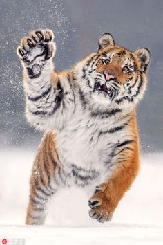 Awe-inspiring images of tiger playing in the snow Awe-inspiring images of tiger playing in the snow The post Awe-inspiring images of tiger playing in the snow appeared first on Katzen. Nature Animals, Animals And Pets, Wild Animals, Images Of Animals, Wildlife Nature, Beautiful Cats, Animals Beautiful, Beautiful Creatures, Big Cats