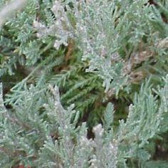 Juniperus X virginiana 'Hetz' (media hetzii)   Nombre Popular:  Tipología…