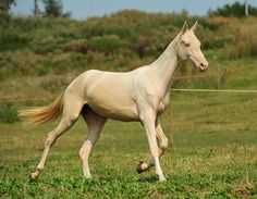 akhal teke - Selina Majestic Horse, Beautiful Horses, Akhal Teke Horses, Fortune Favours, Pony Horse, Horse Breeds, Thoroughbred, Portrait, Ponies