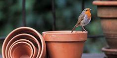 Robins. Smaller than American robins.