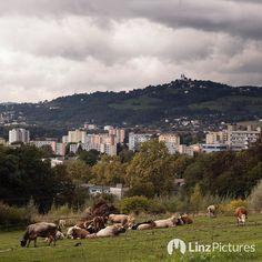 noch mehr #kühe  #muh #cows #kuh #dornach #linz #linzpictures #diebestenbilderderstadt #citylife #farming #landwirtschaft #urfahr #clouds #instaweather #weather #regen #regenwetter #nofilter #meat #beef #landleben #wanderlust #pöstlingberg #jku #uni #view