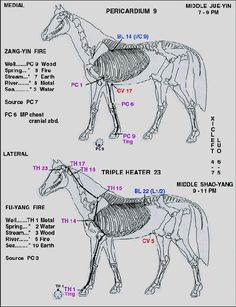 equine meridian chart | XI E: GALLBLADDER MERIDIAN Horse Therapy, Horse Care Tips, Horse Anatomy, Red Light Therapy, Clothes Horse, Horse Clothing, Horses For Sale, Thoroughbred, Acupuncture