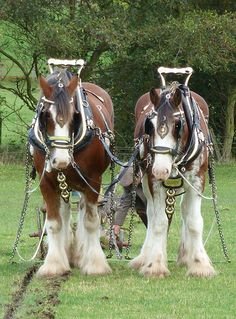 Heavy Haulin' | Flickr - Photo Sharing!    Clydesdales - Hope and Glory