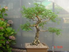 Acacia nigrescens (monkey thorn tree) - Google Search