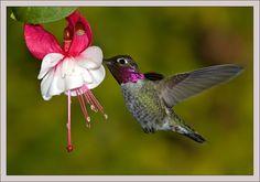 Anna Hummingbird | Hummingbirds: Annas-Hummingbird-(212)