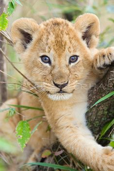 CUTE LION BABY Photo, Baby Animal Photograph, Wildlife Photography, Wall Decor, Nursery Art, African Safari, Zoo, Animal Photography, Cub. $25.00, via Etsy.