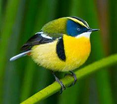 Je suis un oiseau jaune