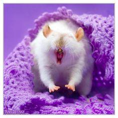 Lorich 12 - Fancy rat by DianePhotos on DeviantArt