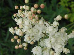 Height: Spread: Blooms June to July' Zones Flora, Fruit, June, Gardens, Plants, Lawn And Garden, Balcony
