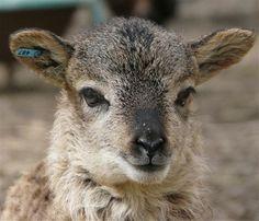 British Soay ewe lamb ~ photo courtesy of Southern Oregon Soay Sheep Farms. Shaun The Sheep, Sheep And Lamb, Adorable Animals, Animals Beautiful, Happy Zoo, Baa Baa Black Sheep, Sheep Breeds, Pig Farming, Sheep Farm