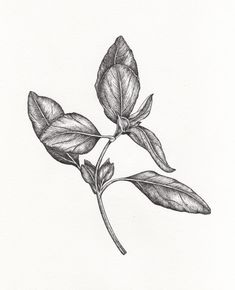 basil botanical drawing
