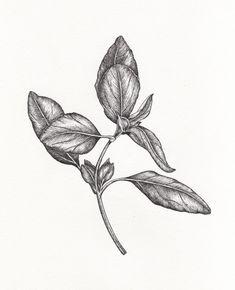 basil botanical drawing