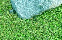 Creeping Ground Cover: miniature brass buttons (Leptinella gruveri)