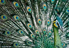 Pavo real cuilleverde.