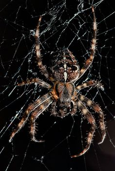 Cross spider by Maianer, via Flickr