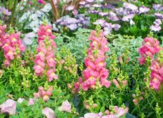 The annual flower snapdragon are not only beautiful, but they are fragrant and attract hummingbirds
