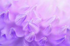 Chrysanthemum Photograph - Pearl Petal Kiss by Anna Bliokh