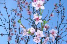 Mademoiselle Bio, Indoor Garden, Branches, Gardens, Apricot Tree, Fruit Garden, Fruit Trees, Roots, Backyard Farming