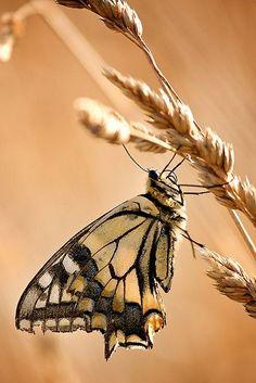 Butterfly Kisses, Butterfly Flowers, Butterfly Wings, Butterflies, Mabon, Golden Harvest, Fields Of Gold, Sea To Shining Sea, Wheat Fields
