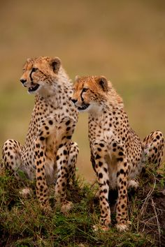 ~~brother in arms ` cheetahs by ~catman-suha~~