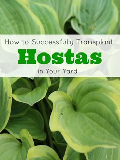 Separating large hosta plants is the perfect way to get free plants for your garden, but the trick is knowing how to divide and transplant hostas correctly!