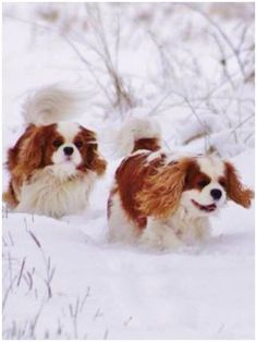 Cavalier King Charles Spaniel – Graceful and Affectionate King Charles Puppy, Cavalier King Charles Dog, King Charles Spaniel, Spaniel Puppies, Cocker Spaniel, Poodle Puppies, Roi Charles, Cavalier Rescue, Best Dog Breeds