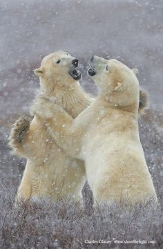Polar bears sparring in the snowfall.