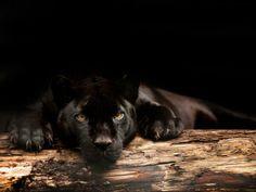 Inaja, de zwarte jaguar van Artis is 20 jaar oud geworden (+2014)