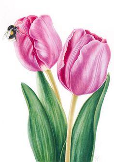 IŞIK GÜNER Botanical Art. Tulipa with Bumble Bee.