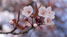 Cherry blossoms are intensely magical, and their sweet, smelling aroma is a font of inspiration for many powerful oils and incenses, thus making them a mainstay in the magical world. -- Cherry Blossom Magical Properties and Uses