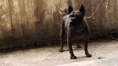 Chinese Chongqing Dog 09