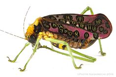 Pardalota reimeri, probably the most colorful and one of the rarest katydids in the world. Quirimbas by Piotr Naskrecki