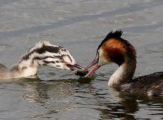 Deze futen delen een lekker visje. Fotograaf: kanjer