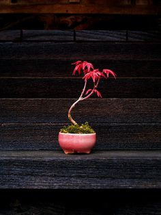 Wow! A TINY Japanese Red Maple Bonsai Tree. Add this to your home décor and people are certain to notice!