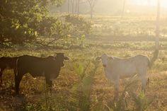 Cows | por jmfilho