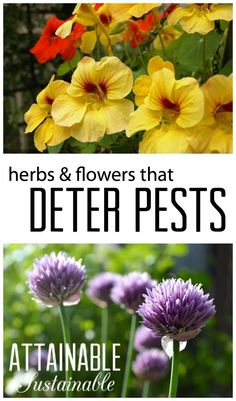 Companion planting is a way to deter pests and disease in the vegetable garden naturally. Try it on your homestead!