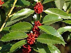 ilex x koehneana chestnut leaf - Google Search