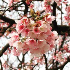 Kanzakura cherry blossoms of winter. #tokyo #japantravel #cherryblossom #flowerstagram