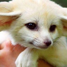 Fennec Fox Pups for Sale | Fennec Fox