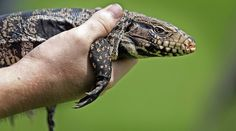 Newsela | Florida rounds up killer lizards sharp of tooth and claw called the tegu