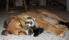 Ferret and dog cuddling and sleeping.  Cute!