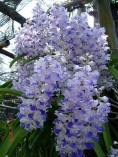 Wondrous White and Blue Orchids Types Of Flowers, All Flowers, Exotic Flowers, Beautiful Flowers, Orquideas Cymbidium, Rose Garden Design, Orchids Garden, Blue Orchids, Blooming Plants