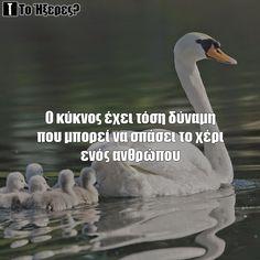 Swan Swan, Blog, Swans, Blogging