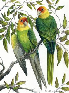 Carolina Parakeet by windfalcon on DeviantArt - Watercolor and a bit of acrylic on illustration board, 8 X 10 inches